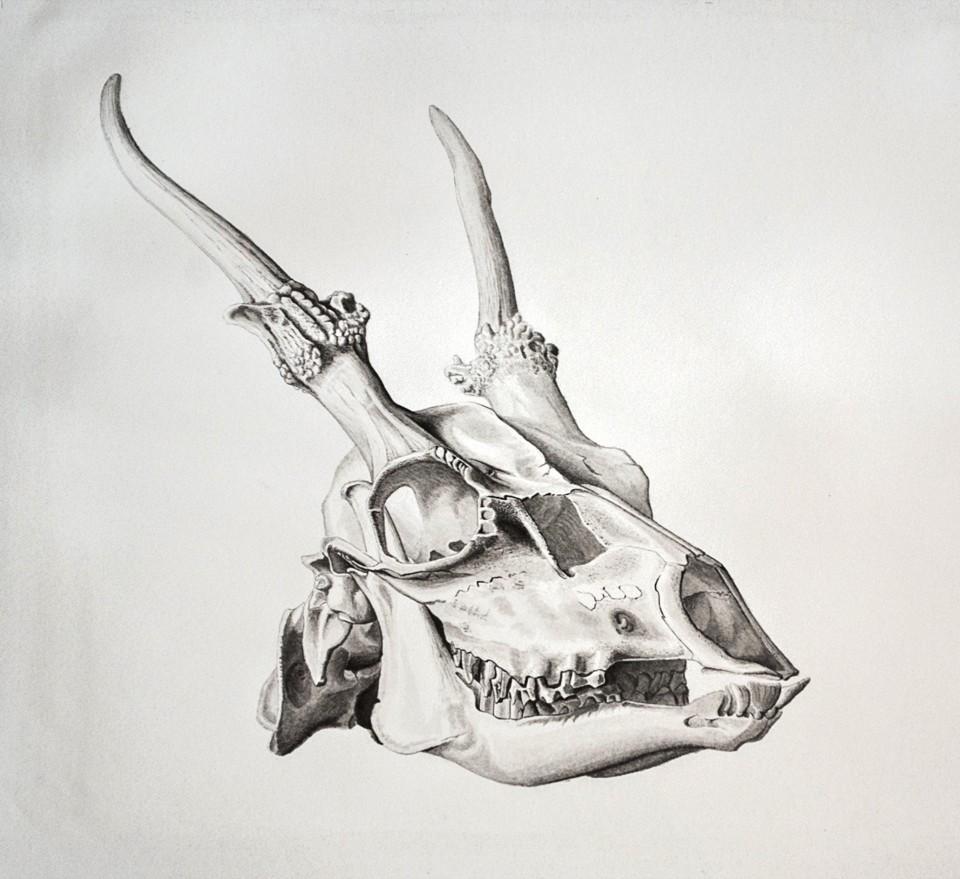 Dammhirschschaedel, Tierstudien, ikonaut