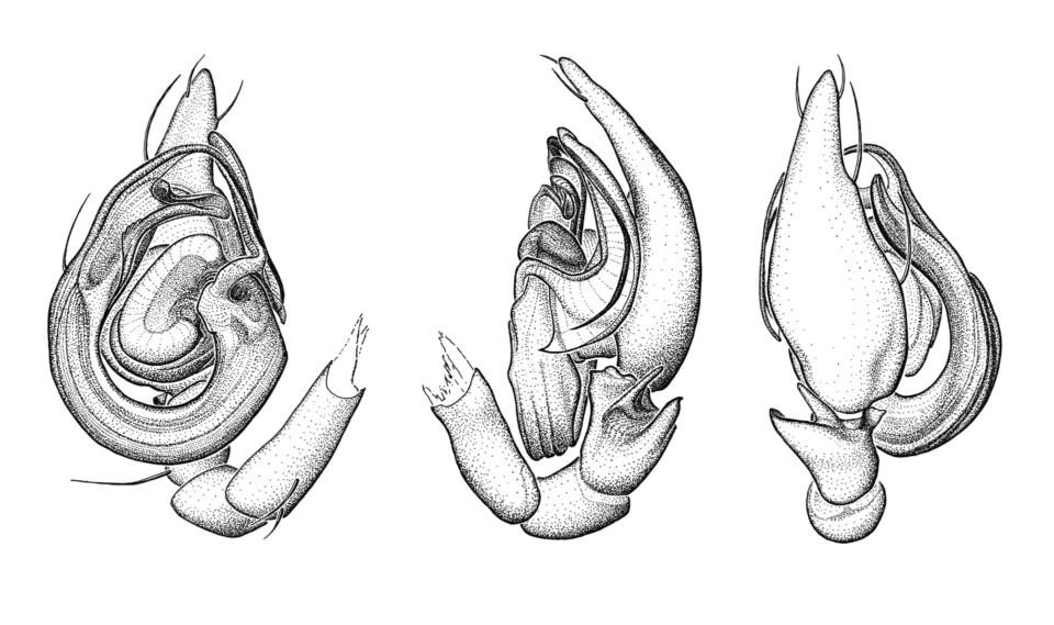 Histopona cf italica, Spinnenstudien, ikonaut