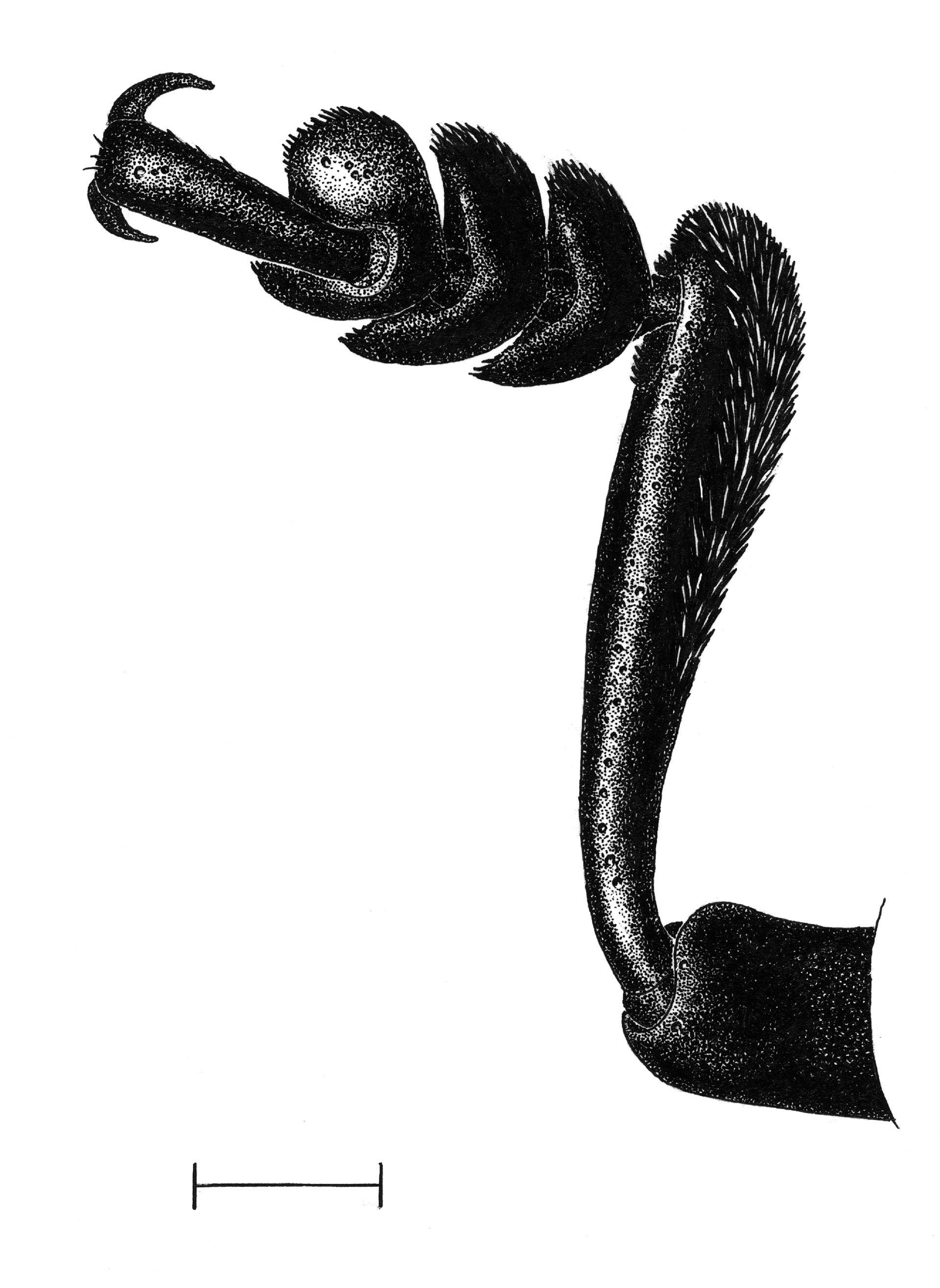 Tatzenblattkaefer Bein, Tierstudien, ikonaut